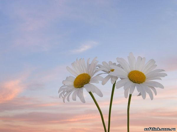 Цветы, ромашки, букет, что подарить?